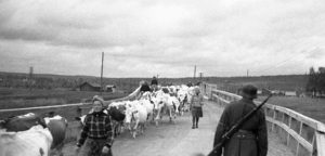 Refugees drive cows between Sodankyla and Rovaniemi, northern Finland, 1944 [Public domain]